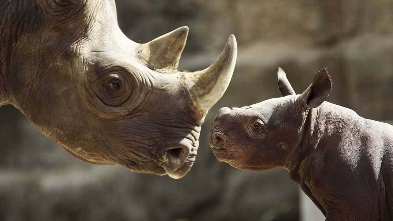 Featured image of 3D Printed Rhino Horns to Deter Ivory Poaching?