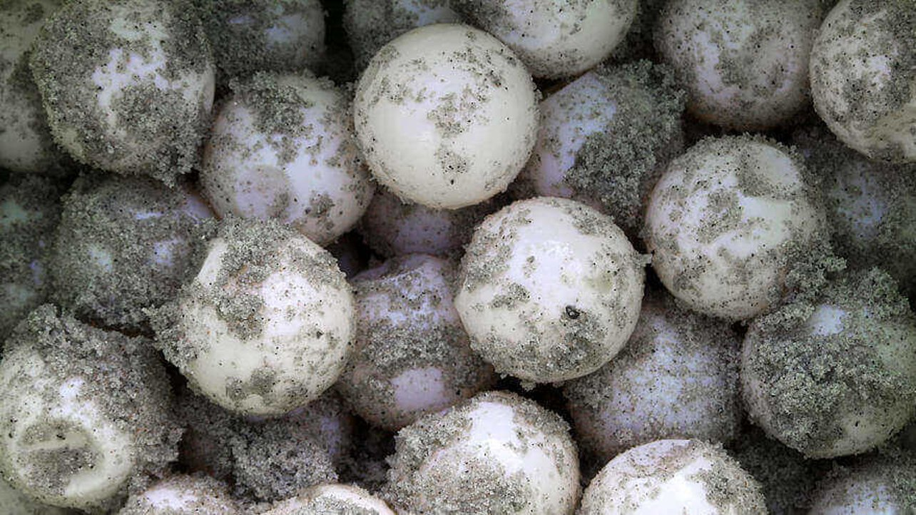 Featured image of 3D Printed Turtle Eggs to Track Poachers