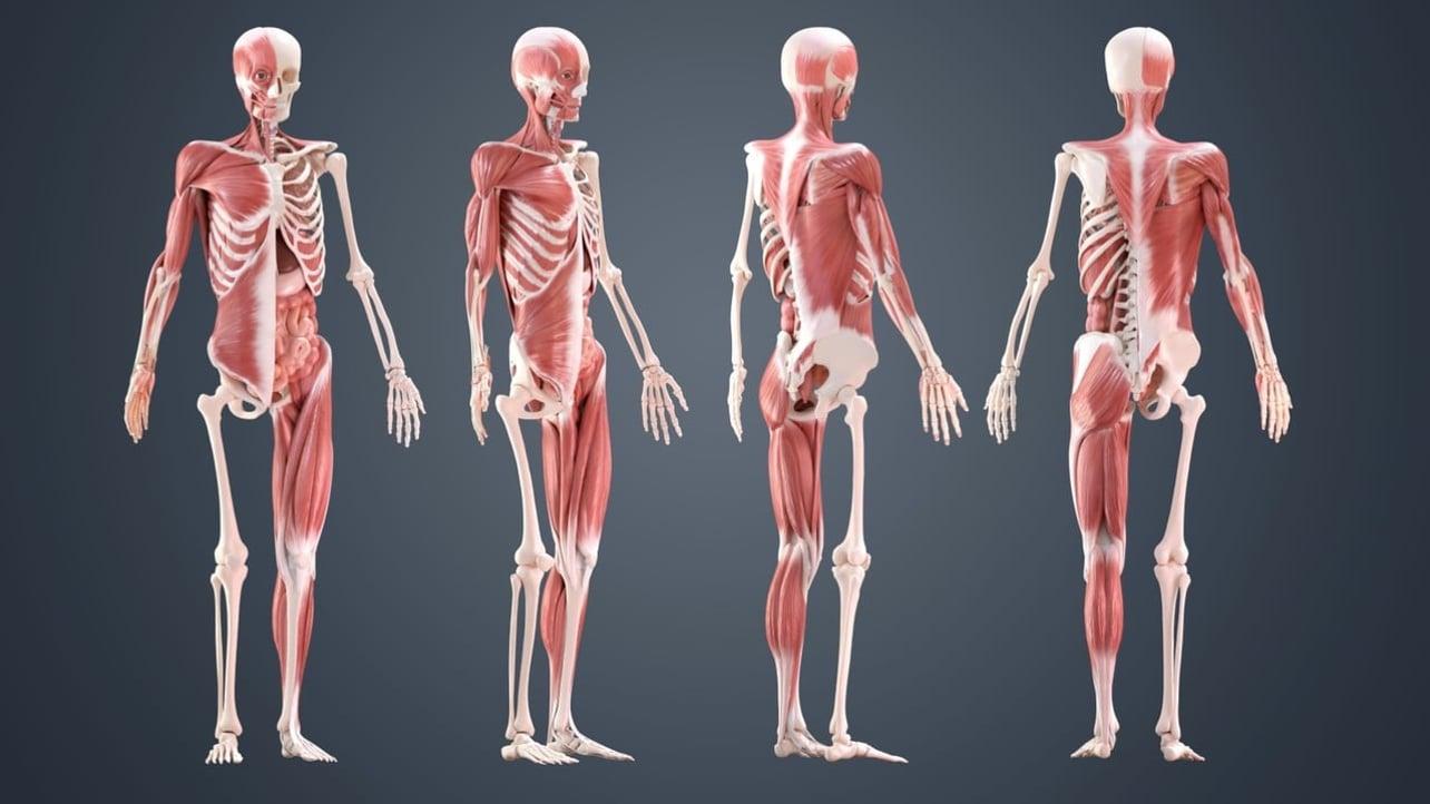 Featured image of Skeleton 3D Model – 5 Best Sources for Skeletal Systems