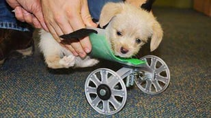 Featured image of 3D Printed Puppy Wheelchair for Teeny Tumbles