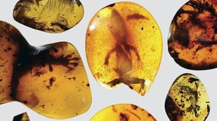 Featured image of Trapped in Amber, World's Oldest Chameleon is Scanned and Printed