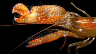 Featured image of Researchers 3D Print Shrimp Claw to Generate Underwater Plasma