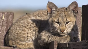 Featured image of Bobcat Kittens Receive 3D Printed Tracker Collars to Improve Tracking of Population