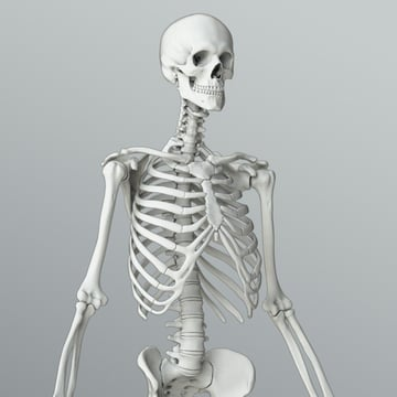 Part of the human skeleton.