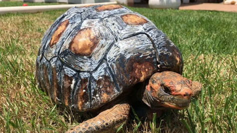 """Featured image of """"Freddy"""" Receives Hand-Painted 3D Printed Tortoise Shell"""