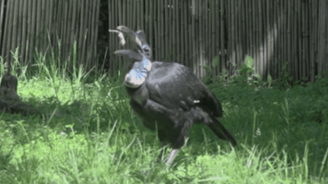 Featured image of Karl the Hornbill Receives a New 3D Printed Beak Prosthetic