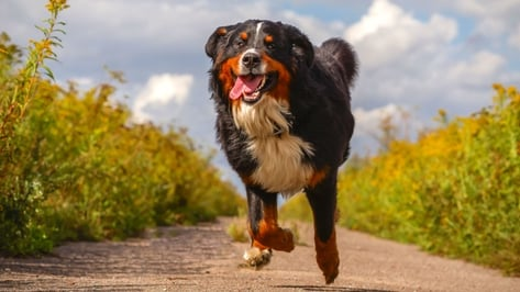Featured image of Bernese Mountain Dog Receives Life-saving 3D Printed Titanium Implant