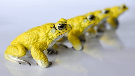 Featured image of 3D Printed RoboToads Help Explain Mating Habits
