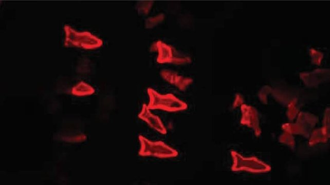 Featured image of 3D Printed Microfish can Seek and Destroy Liquid Toxins