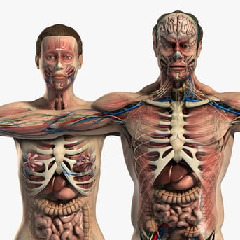 A human anatomy Maya model on TurboSquid