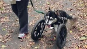 Just like a wheelchair for a dog. (source: 3d systems)