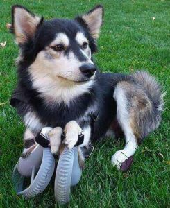 Derby the dog and its 3d printed legs (source: animal orthocare)