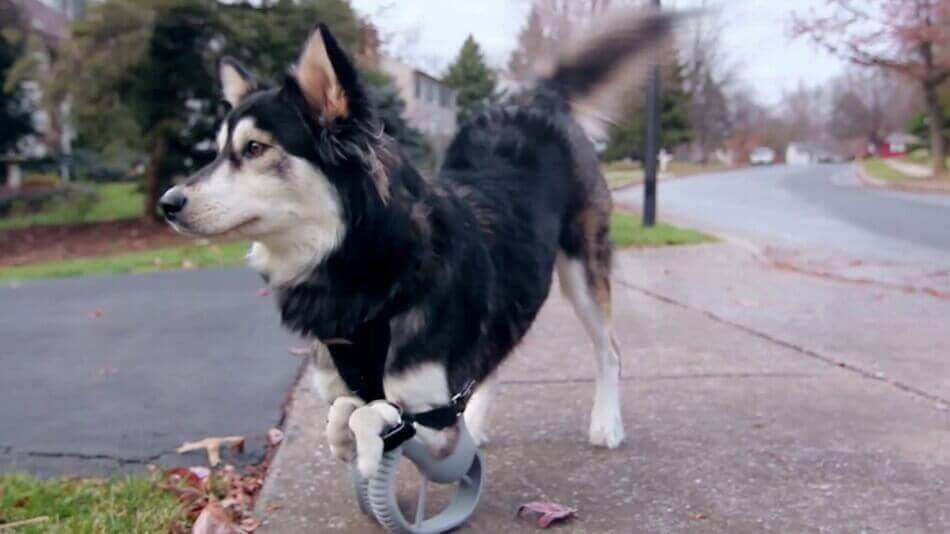 3D printed prosthetics for animals: Not as common as you think | All3DP