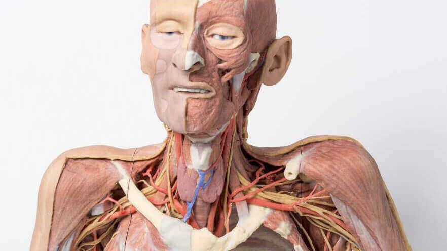 3D Printed Cadavers to Modernize Human Anatomy Study | All3DP