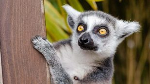 Featured image of Preserving the Endangered Lemur with 3D Scanning and X-Rays