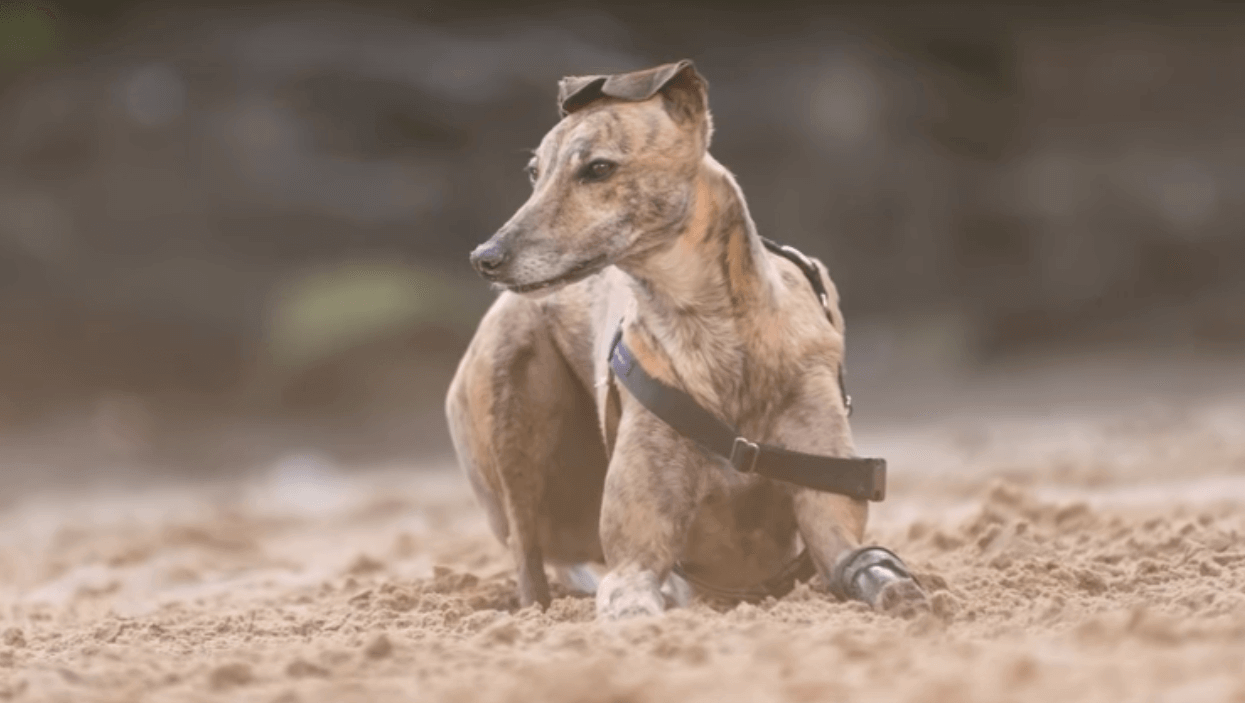 Millie the Greyhound is First Dog in Australia to Receive a 3D Printed Prosthetic Leg | All3DP