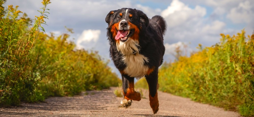 Bernese Mountain Dog Receives Life-saving 3D Printed Titanium Implant | All3DP