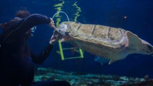 Featured image of San Diego Aquarium Repairs Sea Turtle's Shell