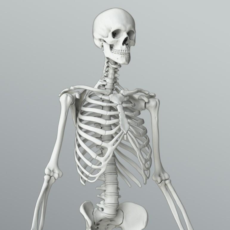 Скелет человека картинка в хорошем качестве
