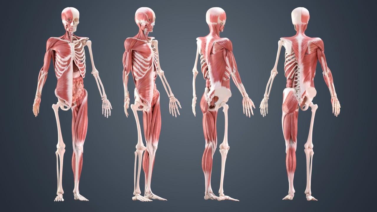 Skeleton 3D Model – 5 Best Sources for Skeletal Systems | All3DP