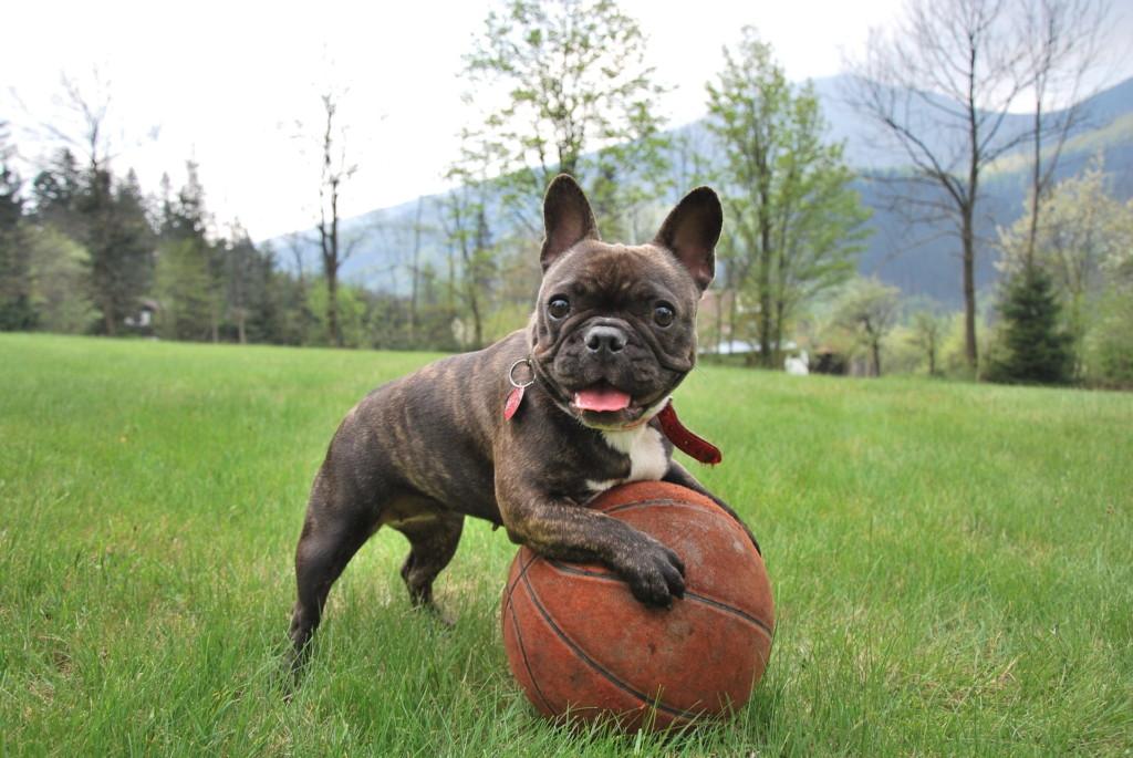 Short-nosed dog breed