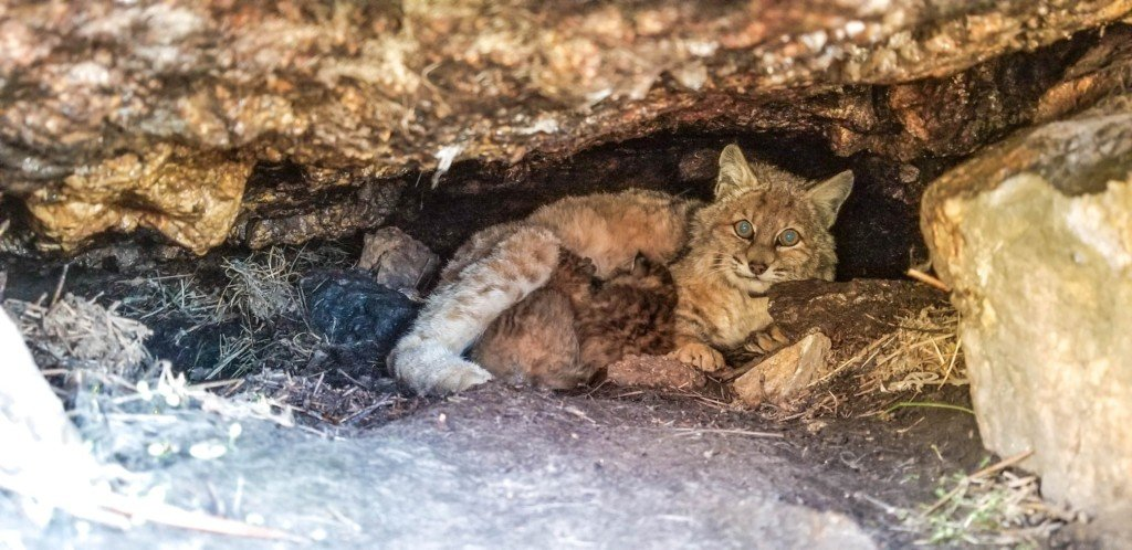 Bobcat Kittens Receive 3D Printed Tracker Collars to Improve